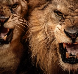 Close-up shot of two roaring lion