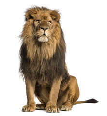 Lion sitting, looking away, Panthera Leo, 10 years old, isolated
