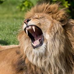 Male lion having a yawn