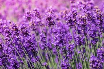 Lavender blooming in the summer