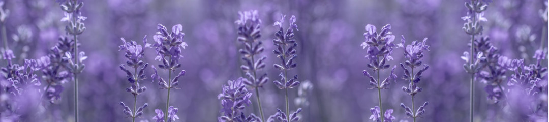 aromatic lavender grows on the field